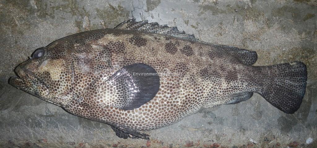 Epinephelus polyphekadion (Bleeker, 1849)
