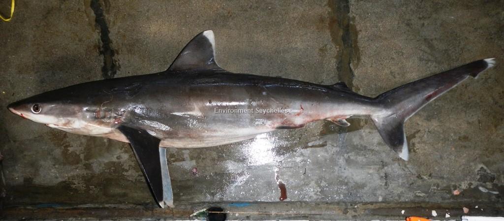 Carcharhinus albimarginatus (Ruppell, 1837)