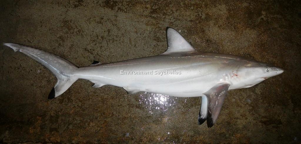 Carcharhinus sorrah (Müller & Henle, 1839)