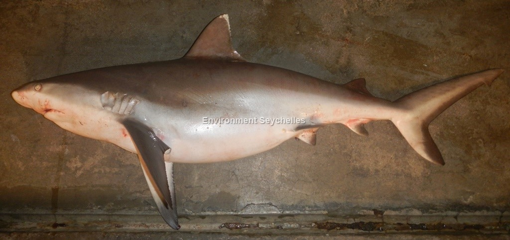 Carcharhinus amblyrhynchos (Bleeker, 1856)