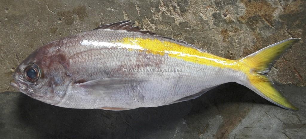 Paracaesio xanthura  (Bleeker, 1869)