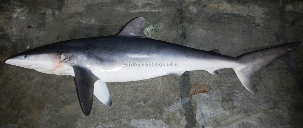 Carcharhinus falciformis  (Müller & Henle, 1839)