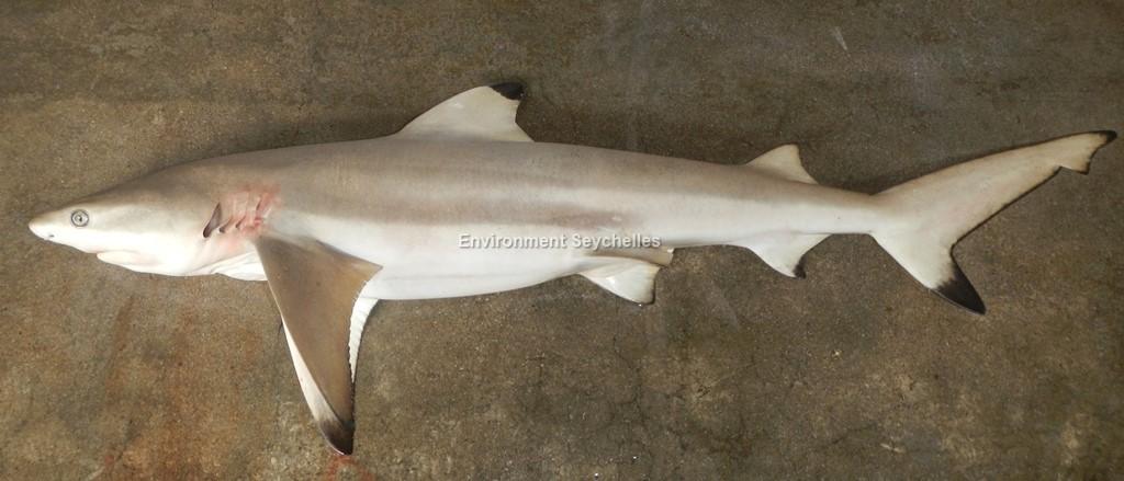 Carcharhinus melanopterus (Quoy & Gaimard 1824)