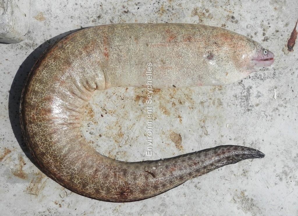 Gymnothorax pseudothyrsoideus  (Bleeker, 1853)