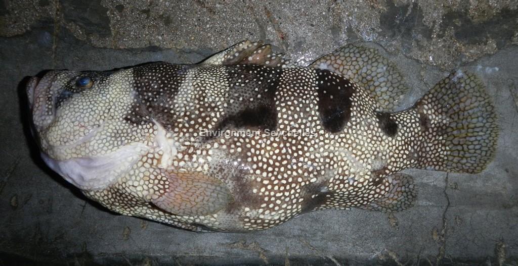 Pogonoperca ocellata (Günther 1859)