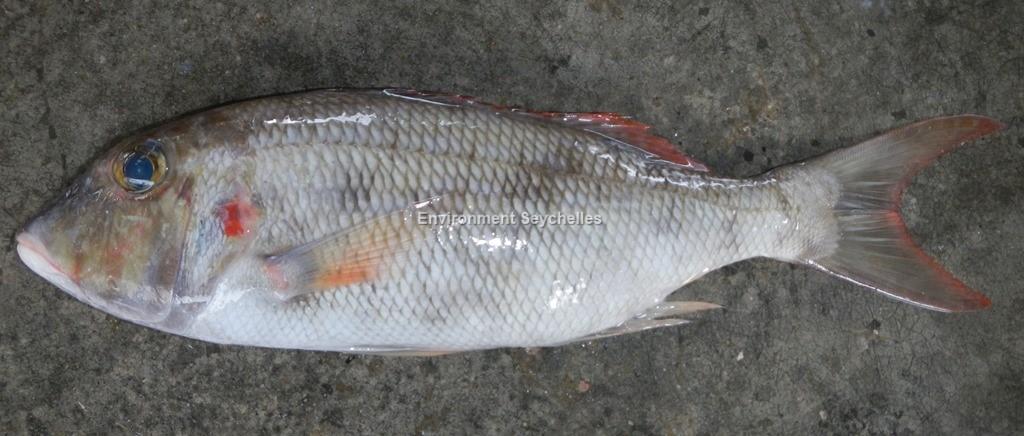 Lethrinus rubrioperculatus (Sato, 1978)