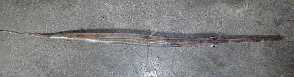 Fistularia commersonii (Rüppell, 1838)