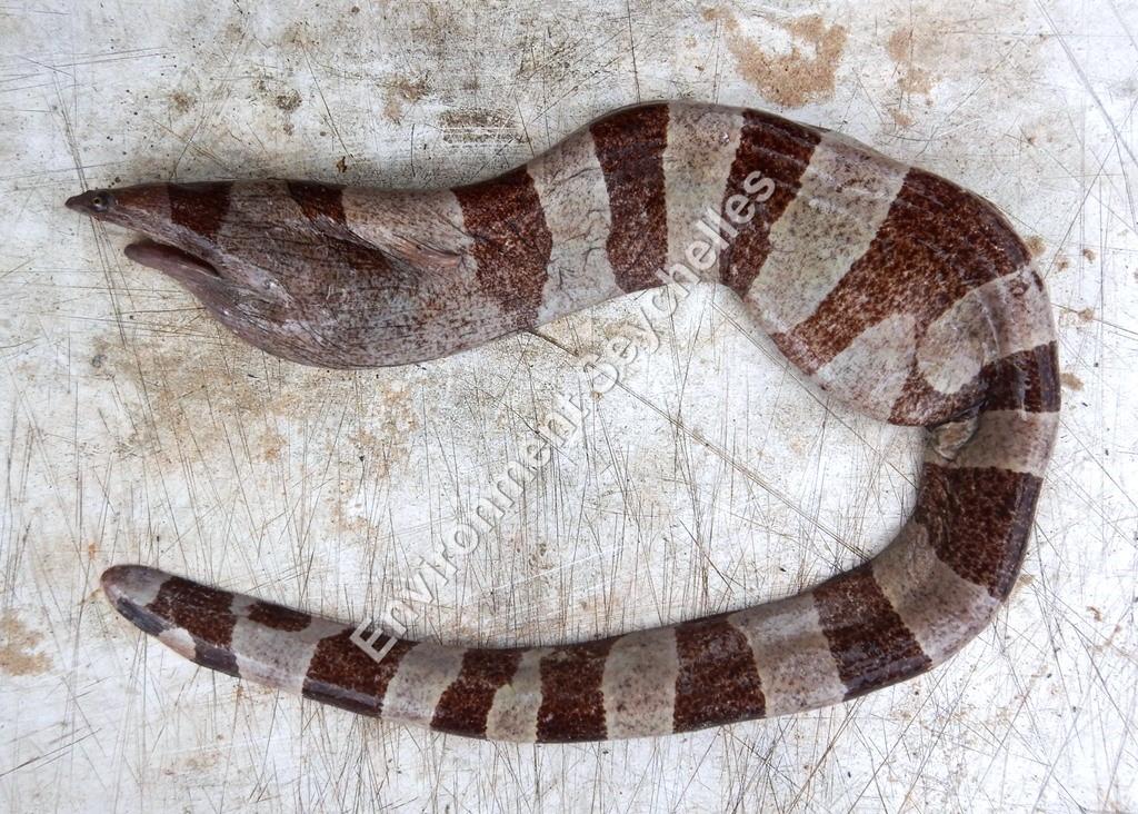 Channomuraena vittata (Richardson, 1845)